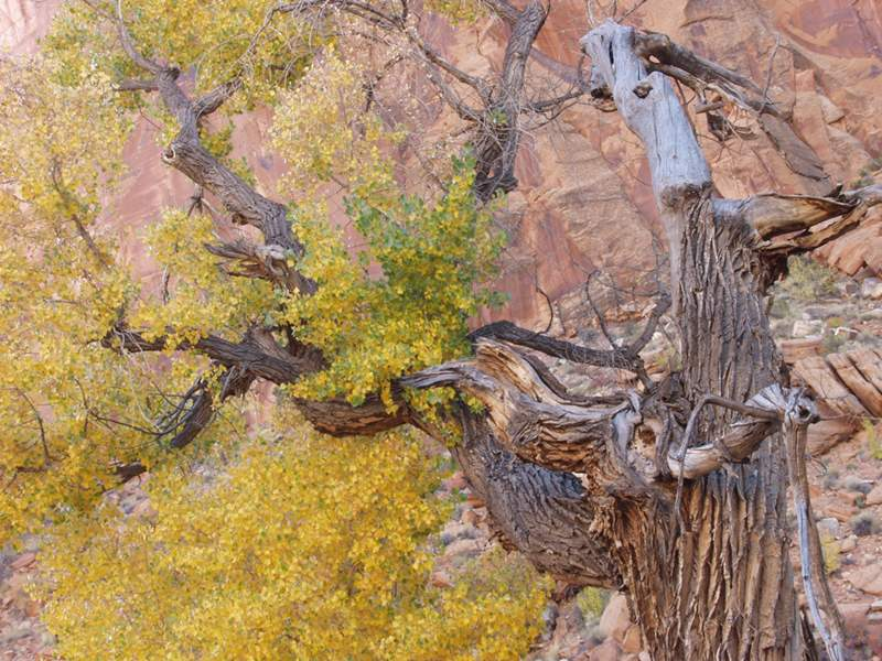 Cottonwood Trees by Anselm Spring