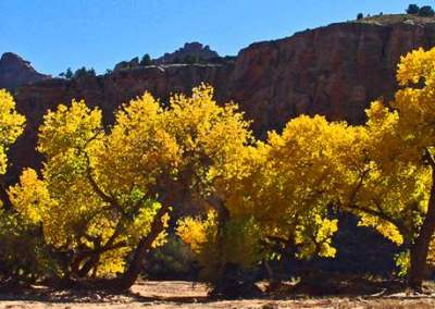 Cottonwood Trees by Anselm Spring (Horse Canyon)